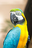 Macaw parrot closeup — Stock Photo