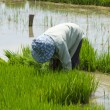 Farmer cultivate rice in field — Stock fotografie