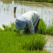 Farmer cultivate rice in field — ストック写真