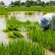 Farmer cultivate rice in field — Stockfoto
