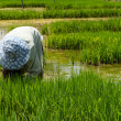 Farmer cultivate rice in farmland — Stok fotoğraf