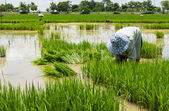 Farmer cultivate rice in field — Stock Photo