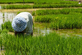 Farmer cultivate rice in farmland — Stock Photo