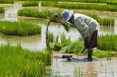 Farmer procedure paddy rice in farmland — Stock Photo
