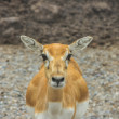 Closeup fawn at looking — Stock Photo #32859475