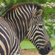 Head of zebra in nature — Stock Photo