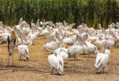 Painted stork and pelican flock of birds — Stock Photo