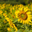 Sunflower in field closeup — Stock Photo