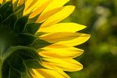 Backside of sunflower petal closeup — Stock Photo