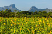 Sunflower field and mountain in summer, Thailand — Stock Photo