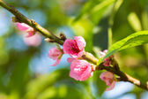 Cherry blossom blooming on branch closeup — Stock Photo
