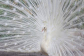 White peacock with feathers side view — Stock Photo