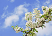 Flores del árbol de manzana — Foto de Stock
