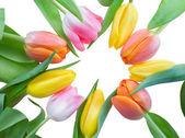 Tulips in circle — Stock Photo