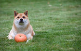 Red dog with pumpkin — Stock Photo