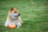 Dog with pumpkin — Stock Photo