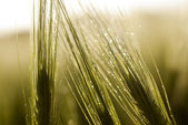 Water drops on wheat — Stockfoto