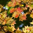 Stock Photo: Colourful autumn leaves