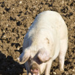 Stock Photo: Happy adult female pig,sow rooting in mud