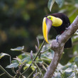 Chestnut mandibled Toucan, Or Swainsons Toucan, ramphastos Ambiguus Swainsonii — Stock Photo #21660967