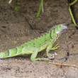 Stock Photo: Juvenile Iguana, CostRica