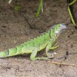 Juvenile Iguana, CostRica — Stock Photo #21668389