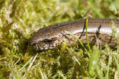 Close up of a slow worm (Anguis fragilis — Foto Stock