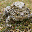 Mating Common or European Toads (Bufo bufo) — Stock Photo #25181789