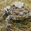 Mating Common or European Toads (Bufo bufo) — Stock Photo