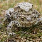 Mating Common or European Toads (Bufo bufo) — Stock Photo