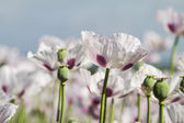Opium poppy, Papaver somniferum — Stock Photo