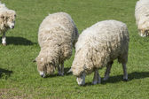 Cotswold Lion Sheep — Stock Photo