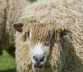 Cotswold Lion Sheep — Foto de Stock