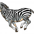 Zebra on white - Stock Vector