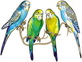 Budgerigars — Stock Vector