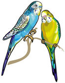 Two budgerigars — Stock Vector