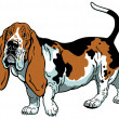 Stock Vector: Basset hound