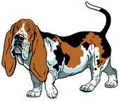 Basset hound — Vettoriale Stock