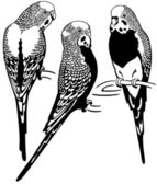 Budgerigars black white — 图库矢量图片