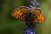 Butterfly on the flower — Stock Photo