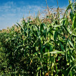 Corn Stalks — Stock Photo