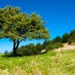 Summer lonely tree — Stock Photo #34761059