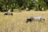 Water buffalos at Angkor complex — Stock Photo