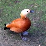 Duck, Ruddy Shelduck (Tadorna ferruginea) — Stock Photo