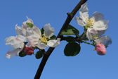 Pink apple flowers with blue sky in the background — Stock Photo