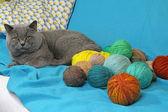 Gato británico de pelo corto en sofá con bolas de hilo — Foto de Stock