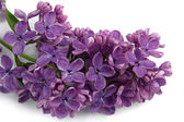 Beautiful lilac flowers on white — Stock Photo