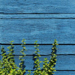 Beautiful blue wooden wall background with green plant — Photo