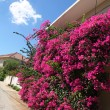Beautiful pink flowers, typical view in Crete, Greece — Stock Photo