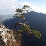 Relict pine on Sokolica peak- symbol of Pieniny Mountains — Stock Photo #33379711